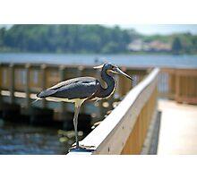 Tri-Color Heron Posing Photographic Print
