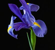 Iris on black by JudithNora
