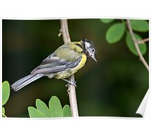 Young Great Tit in Tree Poster