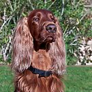 Regal Setter by Ann J. Sagel