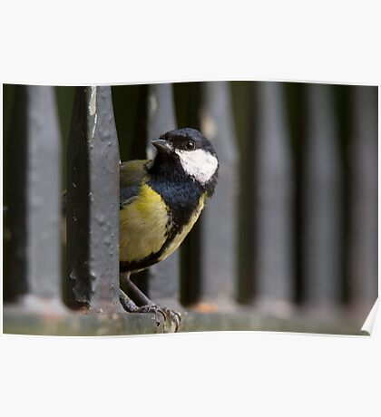 Great Tit on Railings Poster