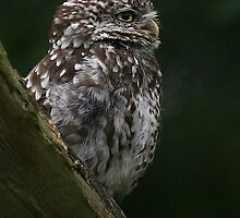 Profile Of The Little Owl by snapdecisions