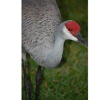 Sandhill Crane Close-Up Photographic Print