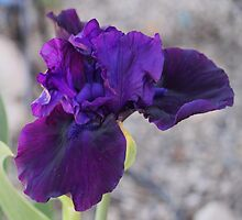 One of the first Iris in the garden to open.... by DonnaMoore