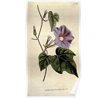 The Botanical magazine, or, Flower garden displayed by William Curtis V5 v6 1792 1793 0092 Convolvulus Nil, Azure Convolvulus Poster