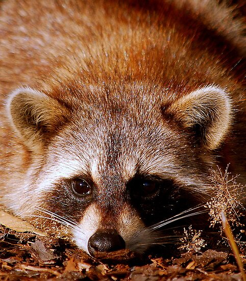 Zorro - The Racoon by Colleen Rohrbaugh
