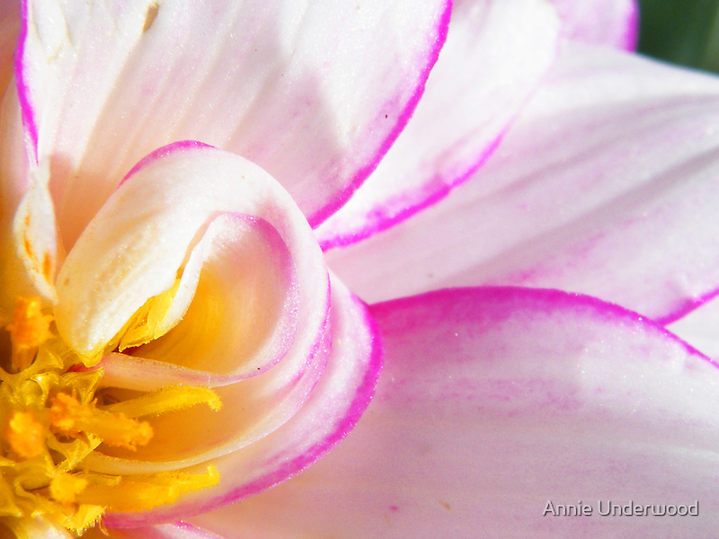 Bright Dahlia by Annie Underwood