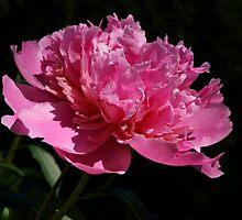 Pink Sunshine by Sandy Keeton
