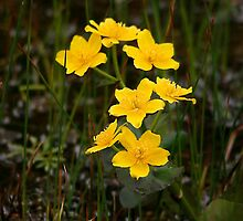 Marsh Marigolds by Vickie Emms