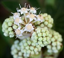 Fatsia Japonica Flower with Ants. Macro by TeAnne