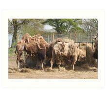 Scruffy Camels Art Print