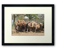 Scruffy Camels Framed Print