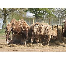 Scruffy Camels Photographic Print