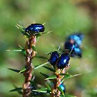Blue Beetles by Lorne6575