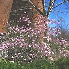 Pink Magnolias at Hyde Hall, Plymouth State University by maxy