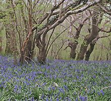 Ancient woodlands in Spring by JUDI2008