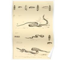 The Reptiles of British India by Albert C L G Gunther 1864 0519 Snakes Poster