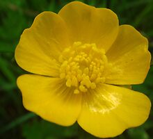 Wildflower Buttercup by Sandra Cockayne