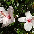 Beautiful Hibiscus shrub Adelaide garden. S.A. by Rita Blom