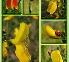 Scotch Broom by bicyclegirl