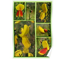 Scotch Broom Poster