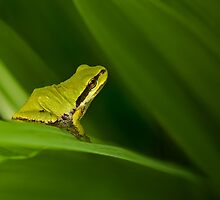 PACIFIC TREE FROG by Sandy Stewart