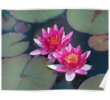 Deep Pink Water Lilies Poster