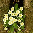 Spring Primroses by John Thurgood