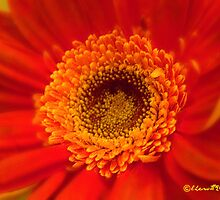 Orange Pizzazz by Lisa Taylor