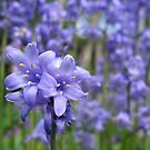Bluebells standing tall... by hjaynefoster
