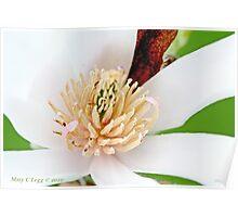 White  magnolia  flower 2 Poster