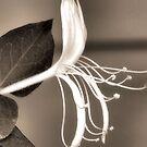 Sepia Honeysuckle by Sandra Moore