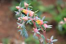 Echeveria imbricata flowers by Maree  Clarkson
