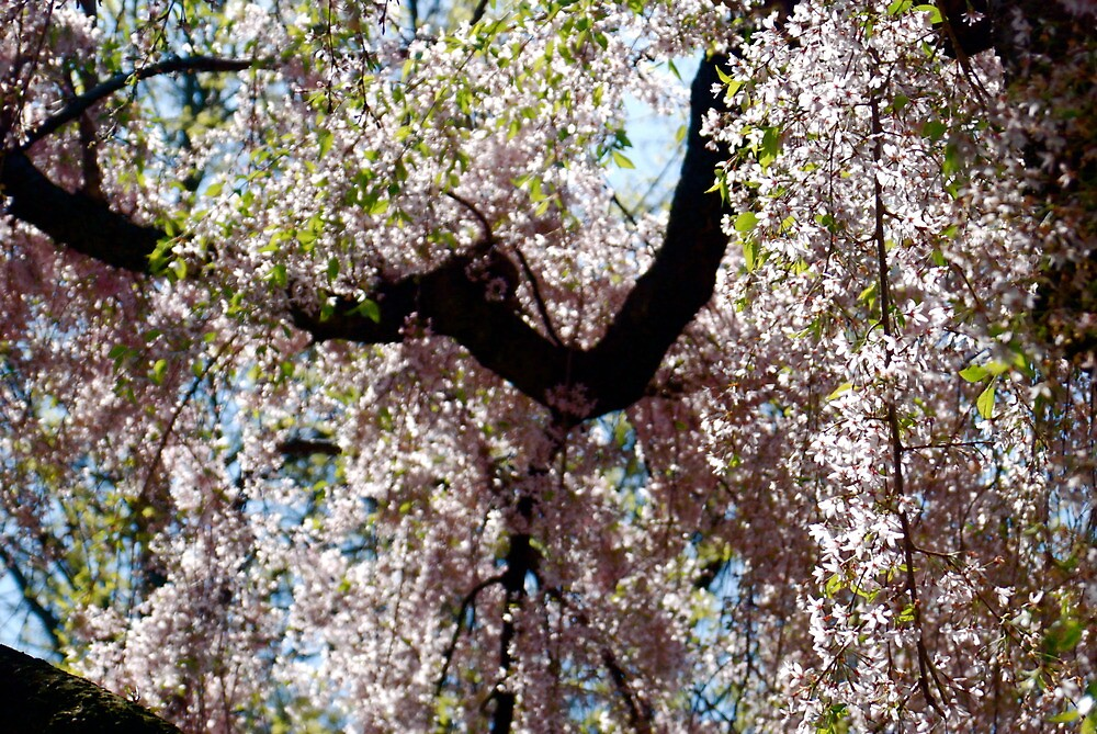 The Cherry Blossom Tree by Galen  Stone