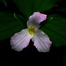 Painted Trillium by jules572