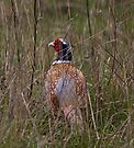 Pheasant in Long Grass by Nigel Bangert