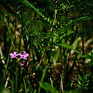 Wild Pink and Western Brackenfern by Phillip M. Burrow