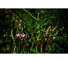 Wild Pink and Western Brackenfern Photographic Print