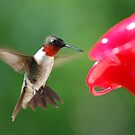 Male Ruby Throated Hummingbird by barnsis
