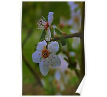 """""""Spring Blossoms Plums"""" Poster"""