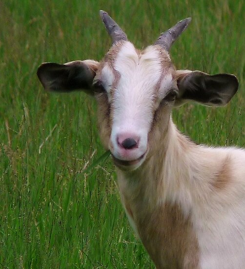 """Goat Smile"" by Barbara Morrison 