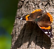Red Admiral by withacanon