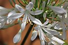 Agapanthus africanus 'Albus' by Maree  Clarkson