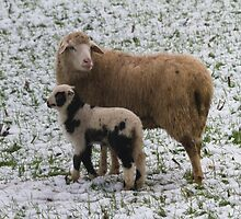 sheep and lambs in the snow by spetenfia