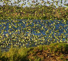 Flock of Budgies by KatMPhotography