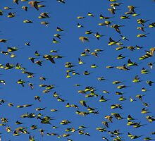 Budgies in the sky by KatMPhotography