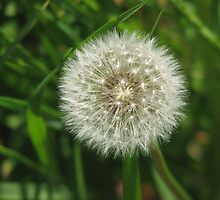 Dandelion Clock by Denise Martin
