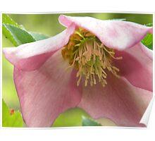 Lenton Rose Poster