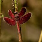 Red dragonfly by emmelined