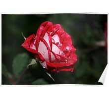 Fresh rose with rain water Poster